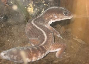 gecko cola gorda